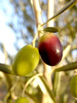 Recette Différentes variétés d'olives des Pouilles