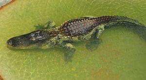 Recette Croquettes d'Alligator