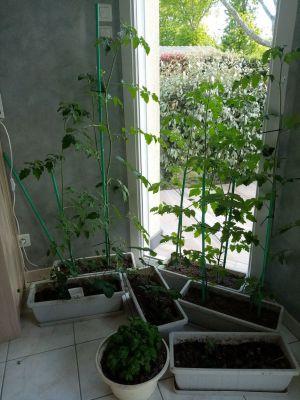 Recette Mes plans de tomates... énormes!