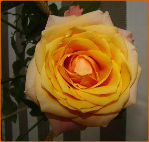 Recette Quelques roses pour vous
