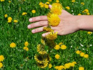 Recette Boisson tonique aux fleurs de pissenlit, cure de printemps