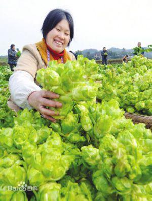 Recette Escapade gourmande au Yunnan (10): Moutarde à grosse tige (儿菜)