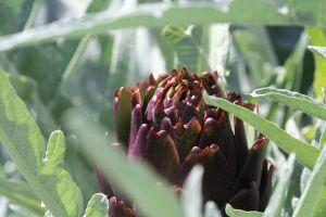 Recette Artichauts violets à la fève tonka