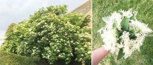Recette Vinaigre aux fleurs de sureau