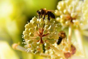 Recette Pourquoi les abeilles sont-t-elles indispensables à notre planète ?