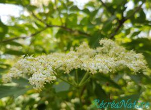 Recette Mon Vinaigre de Cidre aux Fleurs de Sureau Noir du Jardin, et des Idées Gourmandes pour les Utiliser