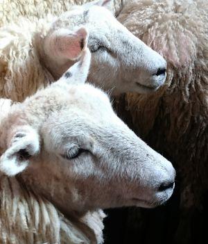 Recette Moutons anglais