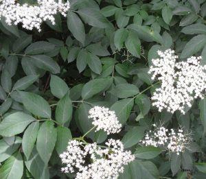 Recette Gelée de fleurs de sureau