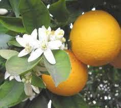 Recette Astuce insomnie : les fleurs d'oranger amer