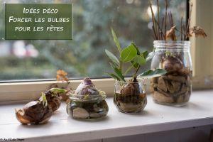 Recette Forcer les bulbes pour les fêtes : Astuces et idées déco