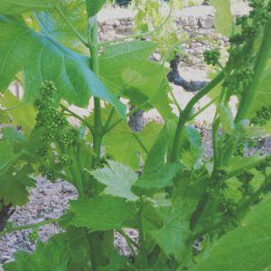 Recette Moulin de la roque : la sauvegarde d' une tradition viticole et d'un terroir unique