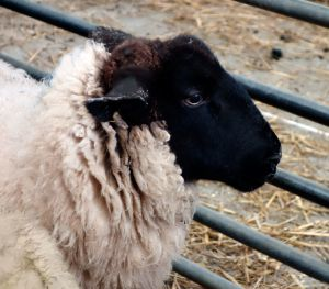 Recette Moutons et  boeufs anglais