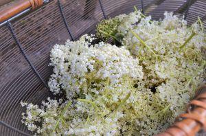 Recette Gelée de fleurs de sureau noir